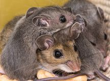 A mother house mouse, Mus musculus, with her offspring piled on top of her. A pile of mice, with the mother in the middle of her gray offspring. The mice are on royalty free stock photography