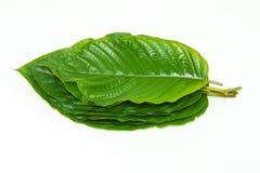 Pile of Mitragynina speciosa or Kratom leaves plant Stock Photos