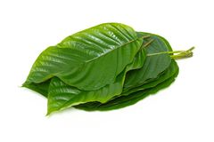 Pile of Mitragynina speciosa or Kratom leaves plant Royalty Free Stock Photography