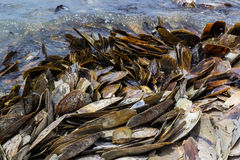 Pile of mussel shell Royalty Free Stock Image