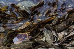 Pile of mussel shell Royalty Free Stock Photography