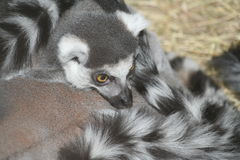 Pile O' Lemurs. A sleeping group of ring tailed lemurs Royalty Free Stock Photos