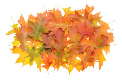 Pile of Oak Leaves in Autumn stock images