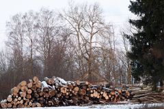 Pile of oak logs. Are to be cut for firewood in winter Stock Image
