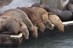 A pile od seals! Stock Image