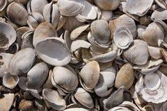 Free Pile Of Shells In Wellfleet, MA Royalty Free Stock Photo - 42512135