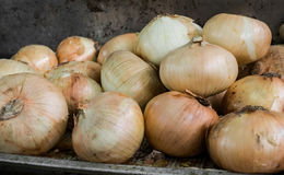 Pile of Onions, Yellow or Brown Onions. Royalty Free Stock Image