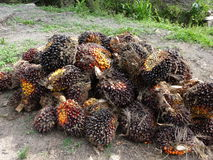 Pile of palm oil fruit Royalty Free Stock Photography