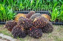 Pile of palm oil Stock Image