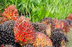 Pile of palm oil Stock Photography
