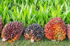 Pile of palm oil Royalty Free Stock Photography
