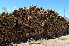 Pile of Paper Birch (Betula papyrifera) Royalty Free Stock Photography