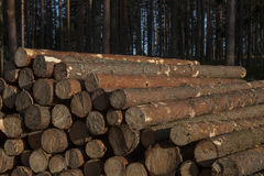 Pile of pine logs Royalty Free Stock Image