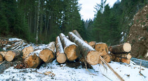 A pile of pine logs in winter snow with forest background Royalty Free Stock Photos
