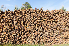 Pile of pine tree trunks cut Stock Image