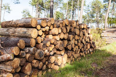 Pile of pine tree trunks cut Royalty Free Stock Photo
