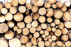 Pile of pine tree trunks cut. Pile of pine tree trunks Stock Images