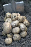 Pile of potato and a shovel. Pile of potato on the ground and a shovel Royalty Free Stock Photography