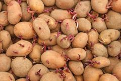 Pile of potato tubers germinated sprouts Royalty Free Stock Photo