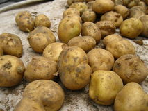 A pile of potatos. A pile of fresh potatos Stock Photo