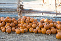 Pile of Pumpkin. Royalty Free Stock Images