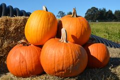 A pile of pumpkins on a farm east of Salem, Oregon. This is a small pile of pumpkins on a farm`s haystack east of Salem, Oregon royalty free stock photo