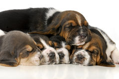 Pile of puppies Royalty Free Stock Images
