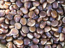 Pile of raw chestnuts for roasting. Pile of raw chestnuts for cooking or eating roasted or raw Royalty Free Stock Image