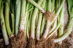 Pile of raw dirty leek. Fresh raw organic leek with dirt Royalty Free Stock Photo