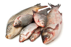 Pile of Raw Fish. Isolated on White Background Royalty Free Stock Images
