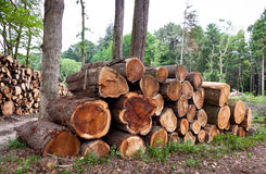 Pile of raw pine wood logs Royalty Free Stock Image