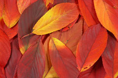 Pile of red autumn leaves. Closeup royalty free stock photography