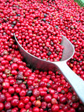 Pile of red berries. With metallic spoon Stock Images