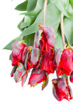 Pile  of red parrot tulips Royalty Free Stock Image
