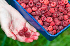 Pile of red raspberries Royalty Free Stock Images