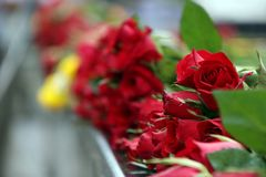 Pile of red rose and green leaf, the concept of love and valentine. A rose is a woody perennial flowering plant of the genus Rosa, in the family Rosaceae, or Stock Photography