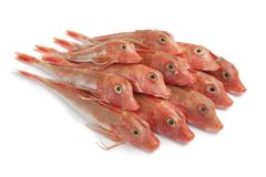 Pile of Red Tub gurnard fishes. On white background Royalty Free Stock Photography