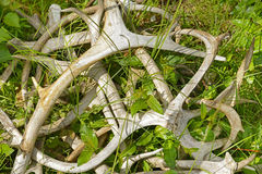 Pile of reindeer antlers on the grass stock photo