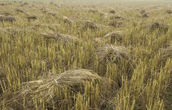 Pile of rice straw stacks in the field waiting for collect and processing for rice grain Stock Photo