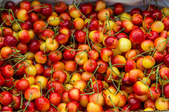 Pile of ripe Rainier cherries. With stems in the sun Stock Images