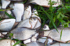 Pile of river carp Royalty Free Stock Photo
