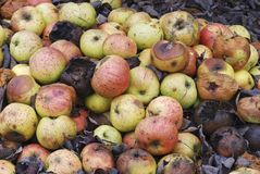 Pile of rotting apples. Pile (heap) of rotting and decomposing apples Royalty Free Stock Image