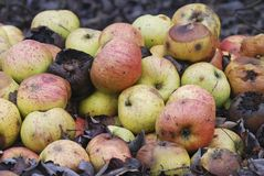 Pile of rotting apples. Pile (heap) of rotting and decomposing apples Royalty Free Stock Photo