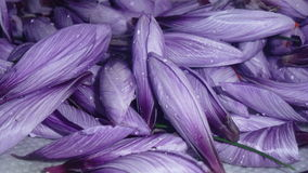 Pile of Saffron flowers unopened Royalty Free Stock Photo