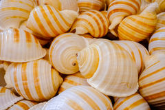 Pile of the same sea shells. closeup Royalty Free Stock Photography