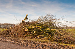A pile of sawed branches remains of the big tree. Royalty Free Stock Photography
