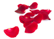 Pile of scarlet red rose petals Royalty Free Stock Photo