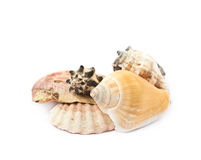 Pile of sea shells  Royalty Free Stock Photography