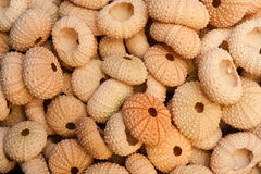 Pile of Sea Urchin Shells Stock Image