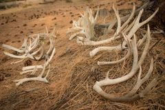 Pile of Shed Antlers that were Discovered stock photos